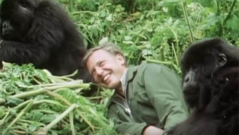 David Attenborough with wild gorillas in his Life on Earth TV series